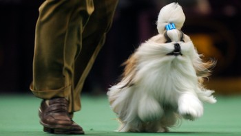 US dog show 2010 - Austin, en Shih Tzu under US dog show 2010. - Foto: Henny Ray Abrams / Scanpix/AP