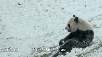 During some snowfall, Toronto Zoo`s cameras caught giant panda Da Mao `bear-bogganing` in his outdoor exhibit.