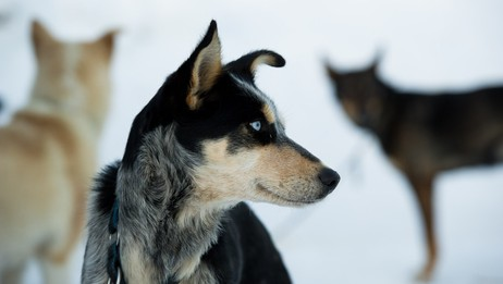 Alaska husky (Foto: Knut-Sverre Horn)