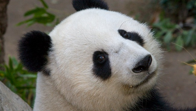 Pandabjrn (Foto: Ken Bohn/AP)