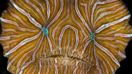 Psychedelic Frogfish (Foto: David Hall/David Hall / seaphotos.com)