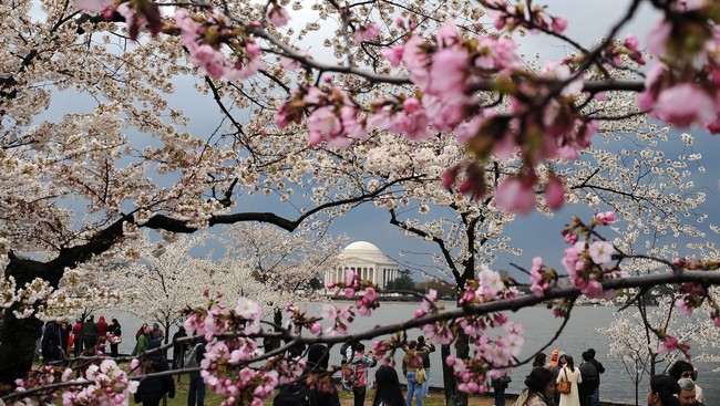 Kirsebærblomstring i Washington (Foto: JEWEL SAMAD/Afp)