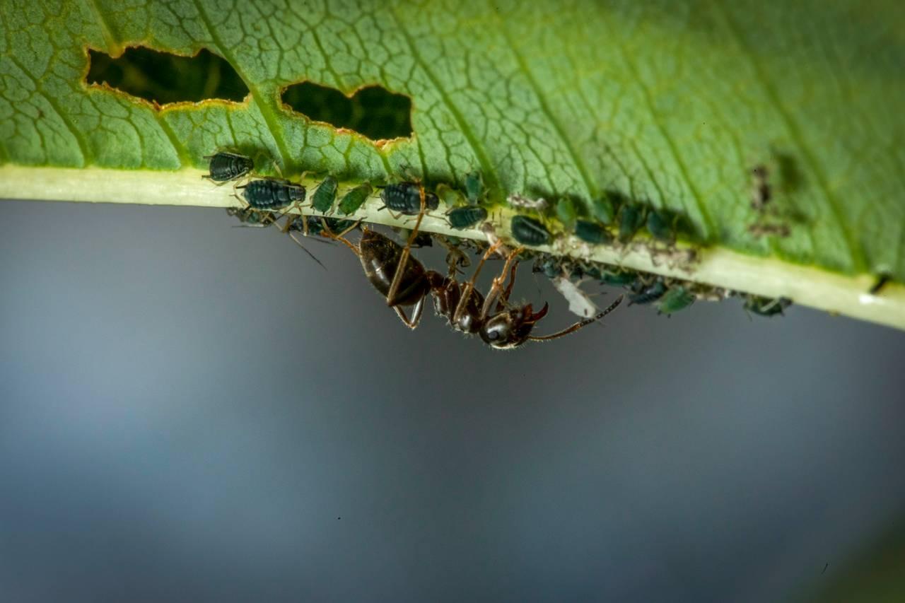 En maur er opp-ned under et blad. Sammen med den er det bittesmå bladlus. Mauren er mye større en bladlusene.