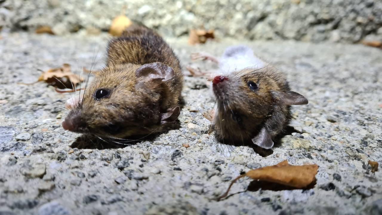 Døde mus