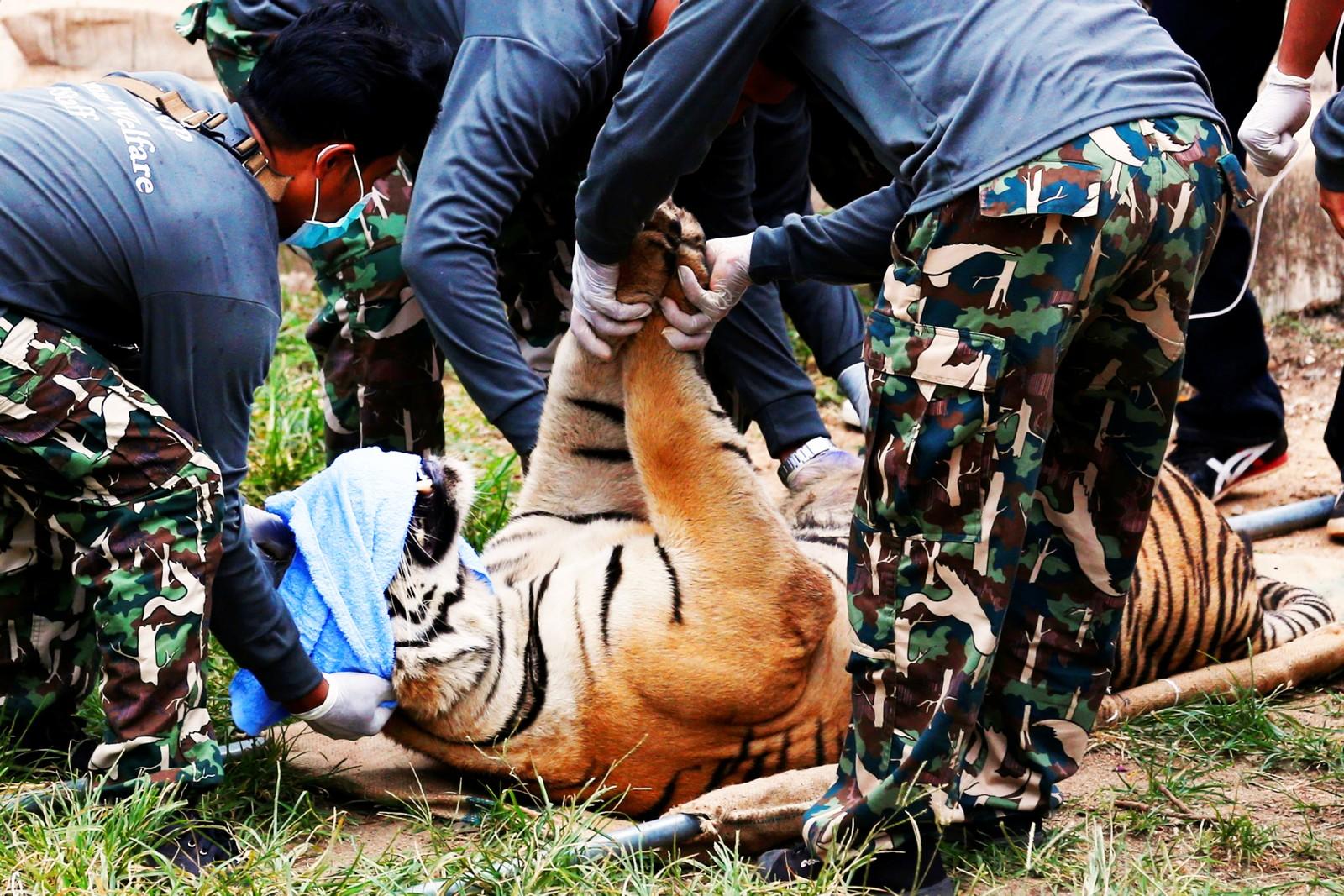 En bedøvet tiger legges på båre for å fraktes vekk fra tigertempelet, 30. mai, 2016.