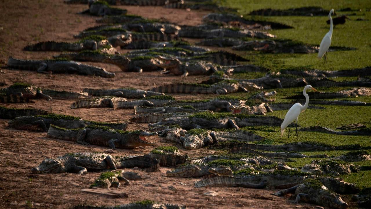 Alligatorer og fugler i brannrammede Pantanal