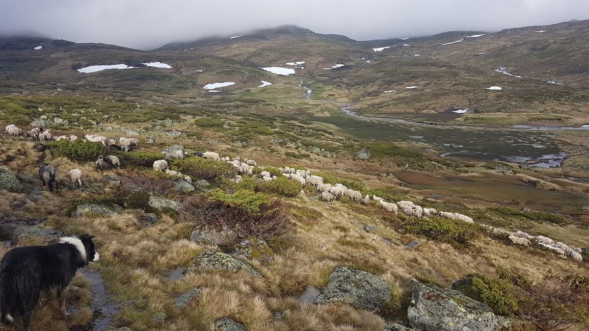 Sauer sliter i vekslende vintervær på Vestlandet