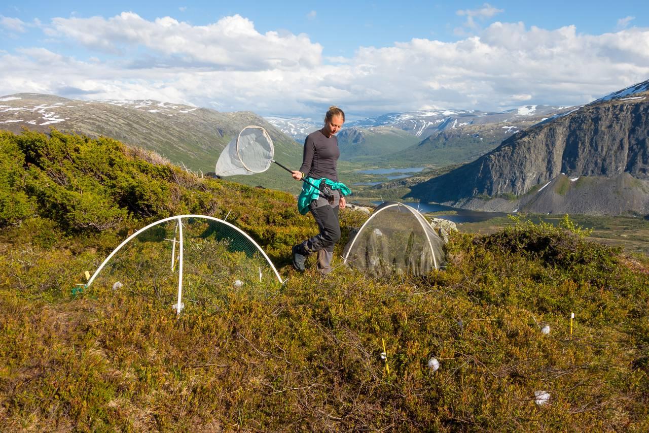 Ei av forskerne er i en blåbærlyng høyt oppe i et fjell. Hun går rundt og veiver med en håv. Rundt henne i blåbærlyngen er det små nettingbur.