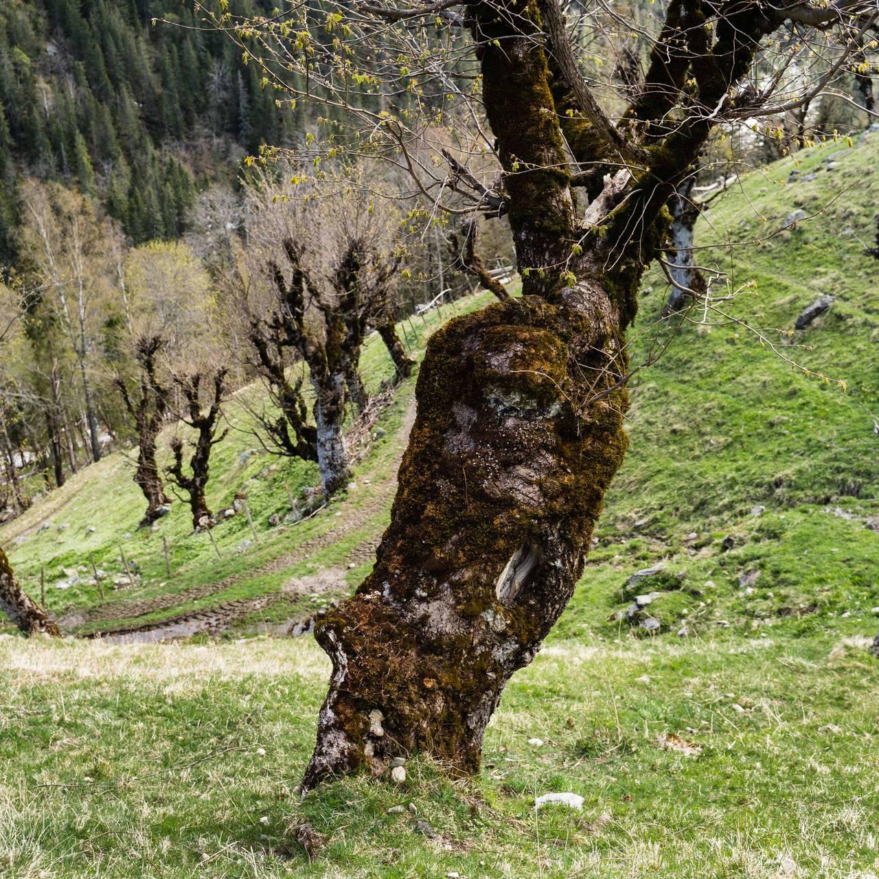 Kvadratisk bilde av estyvingstrær