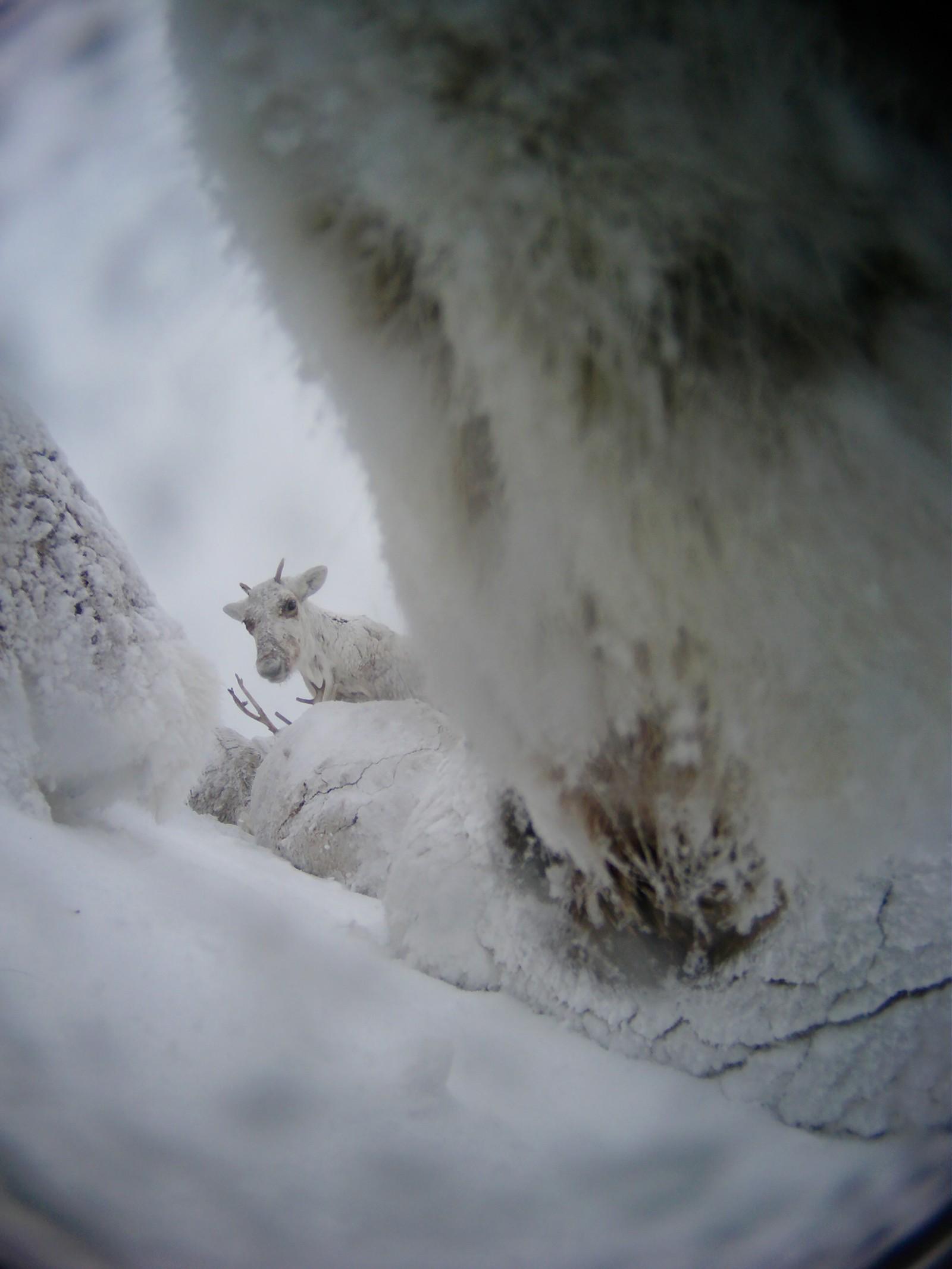 Et nedsnødd reinsdyr kikker opp fra skodde og snø - rett mot fotografen.
