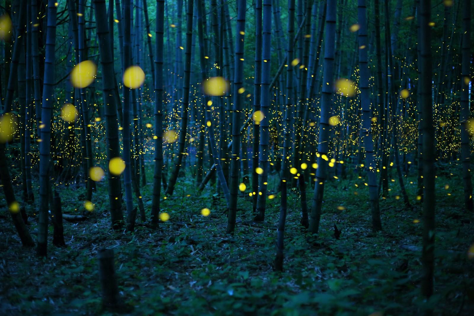 Japanske Kei Nomiyama får utmerkelsen årets fotograf i den åpne klassen. Vinnerbidraget «Enchanted Bamboo Forest» viser ildfluers dans i en japansk bambusskog.