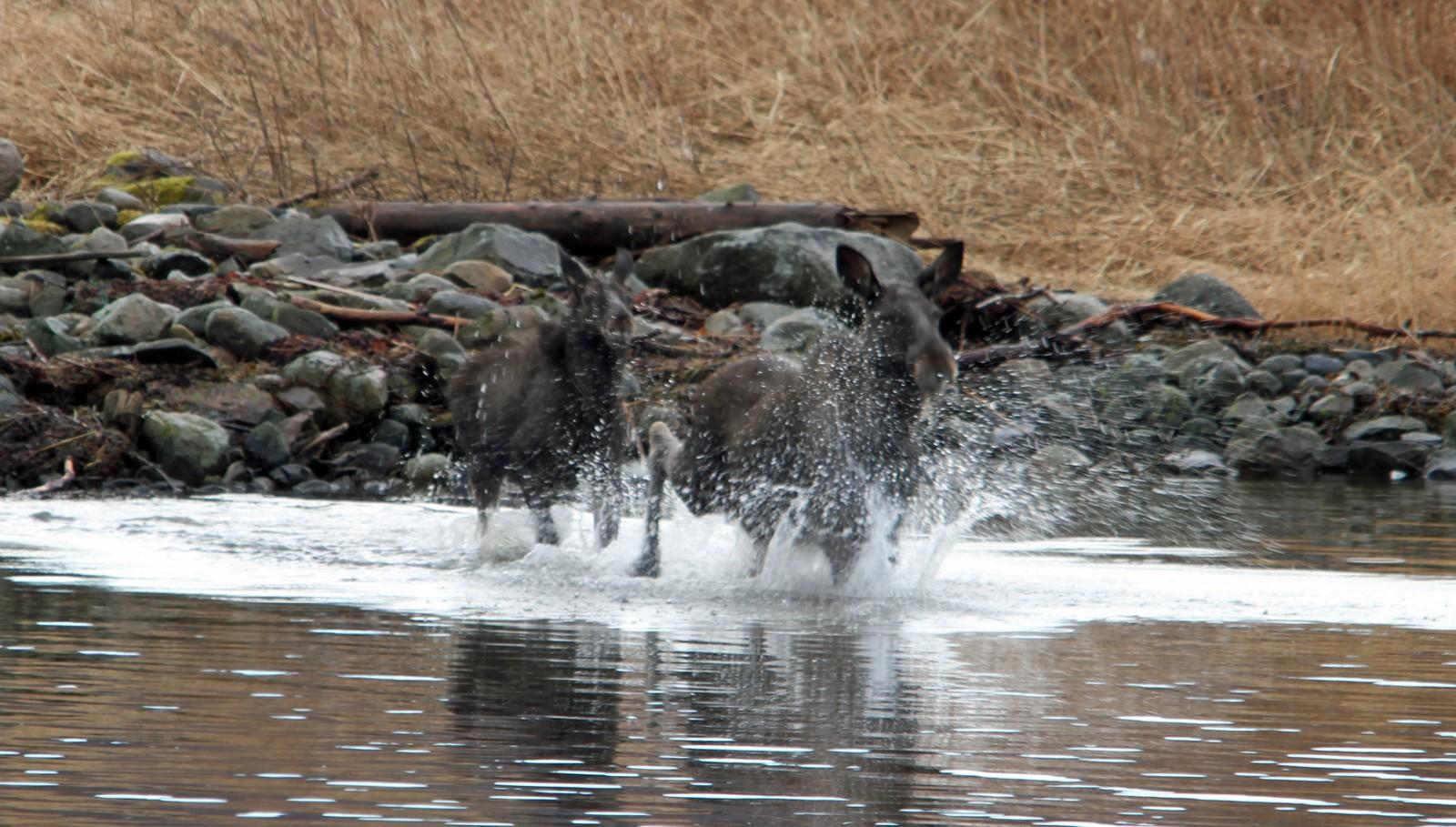 To elger på svøm over Straumen i Rissa
