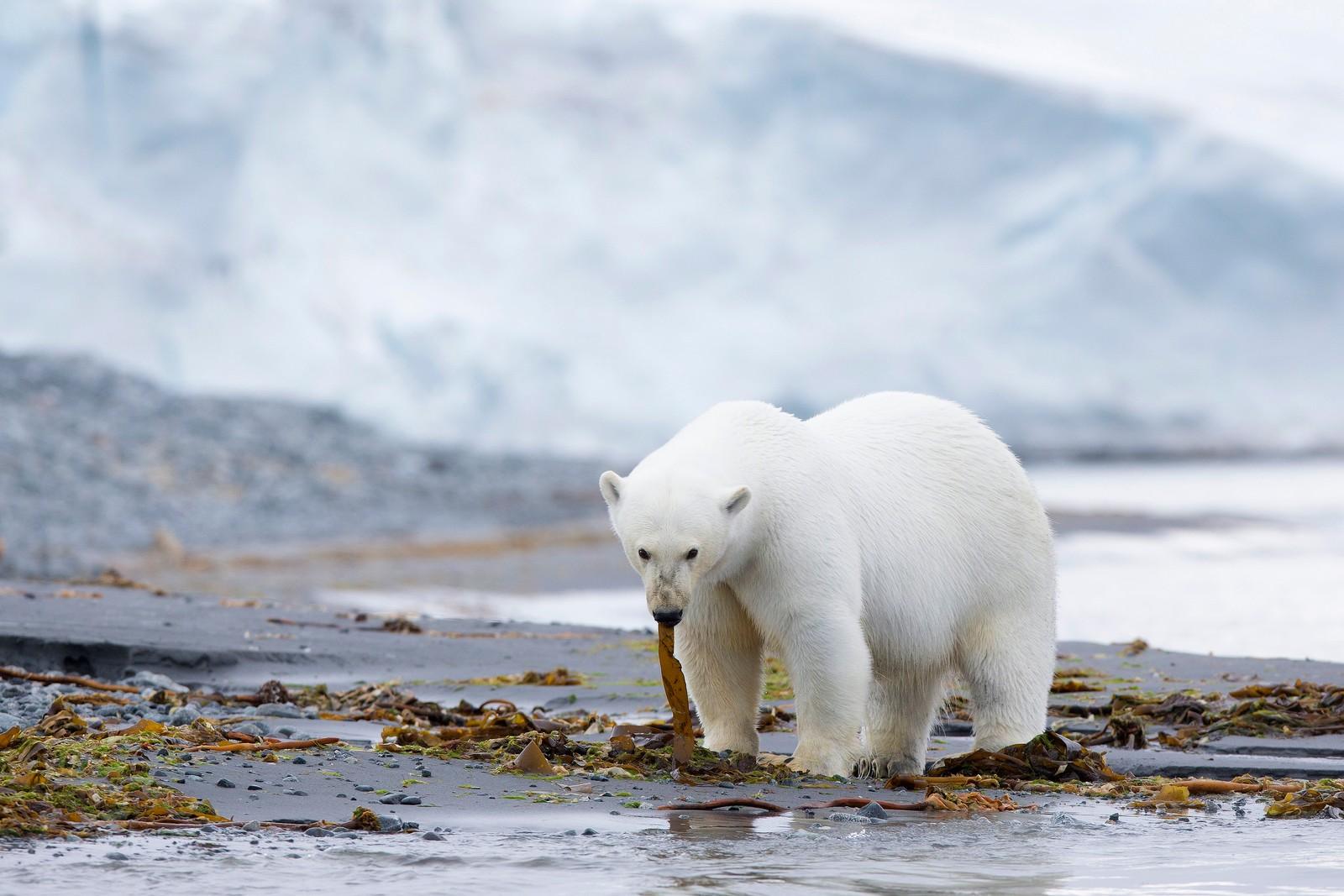 Isbjørn spiser også en del tare om sommeren. Forskere finner mye rester av dette i avføringen til bjørnen.