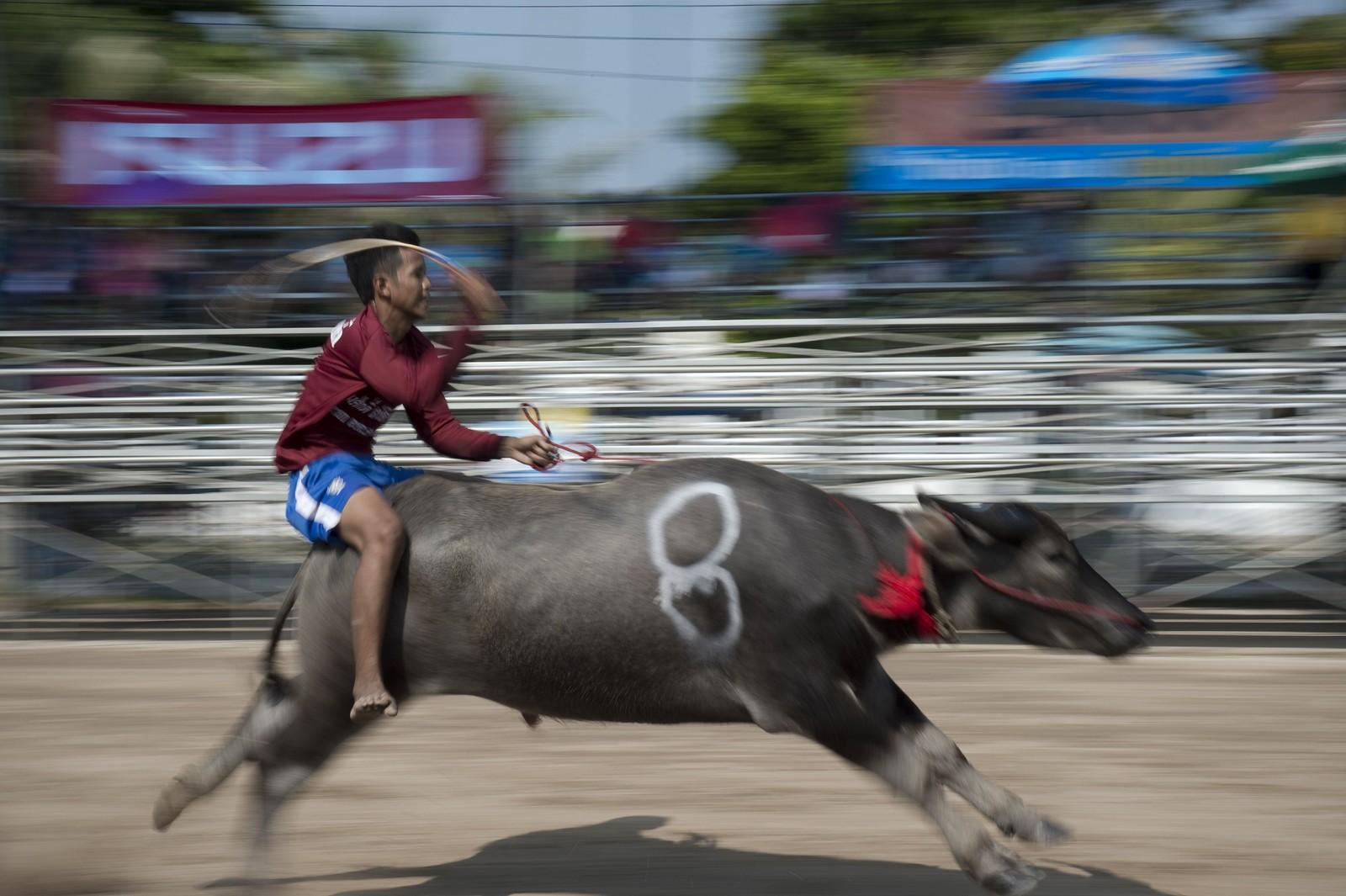 Okseløpet i Thailand arrangeres av bønder som feirer årets avling.