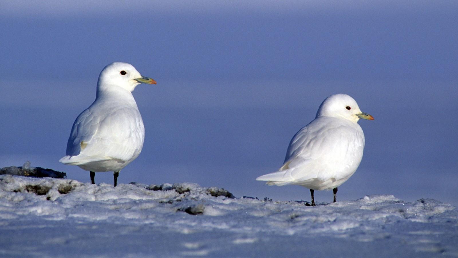 птахи арктики фото самка