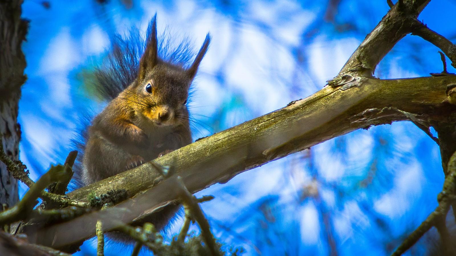 Nøtteliten i toppen av et tre, i Ringvebukta på Lade