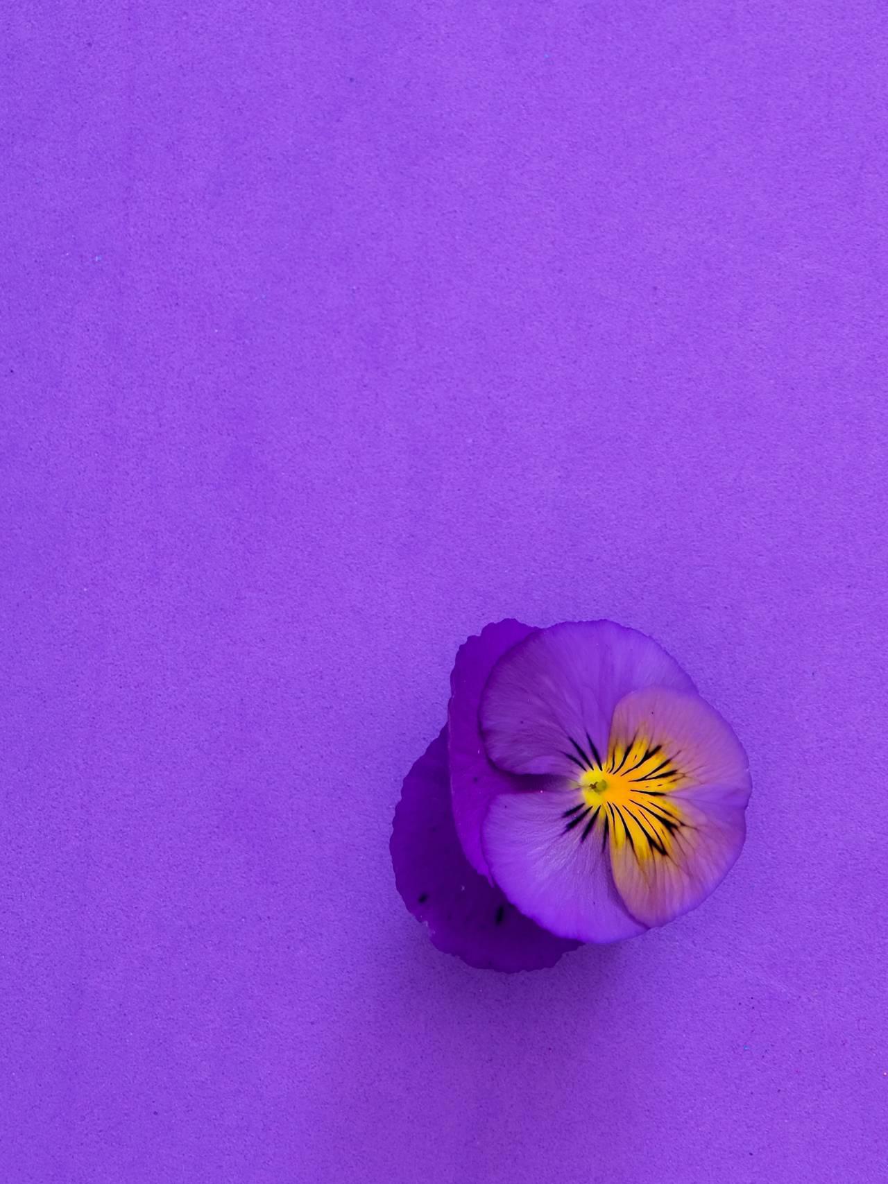 Stemorsblomst på lilla bakgrunn.