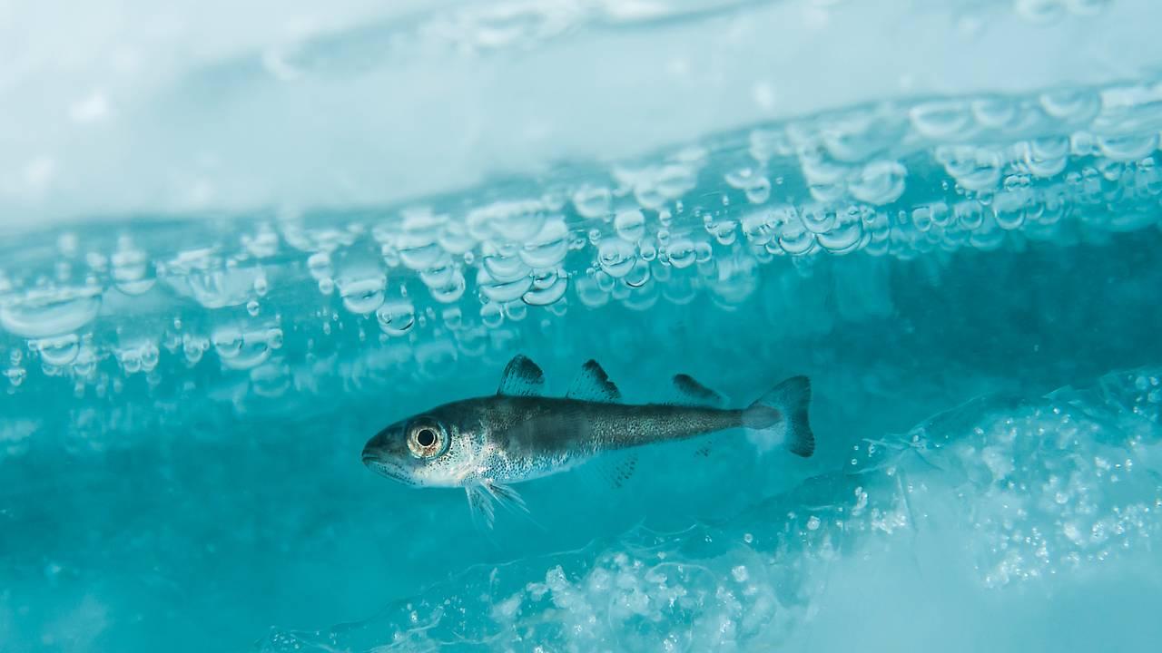 En polartorsk svømmer i havisen i Barentshavet