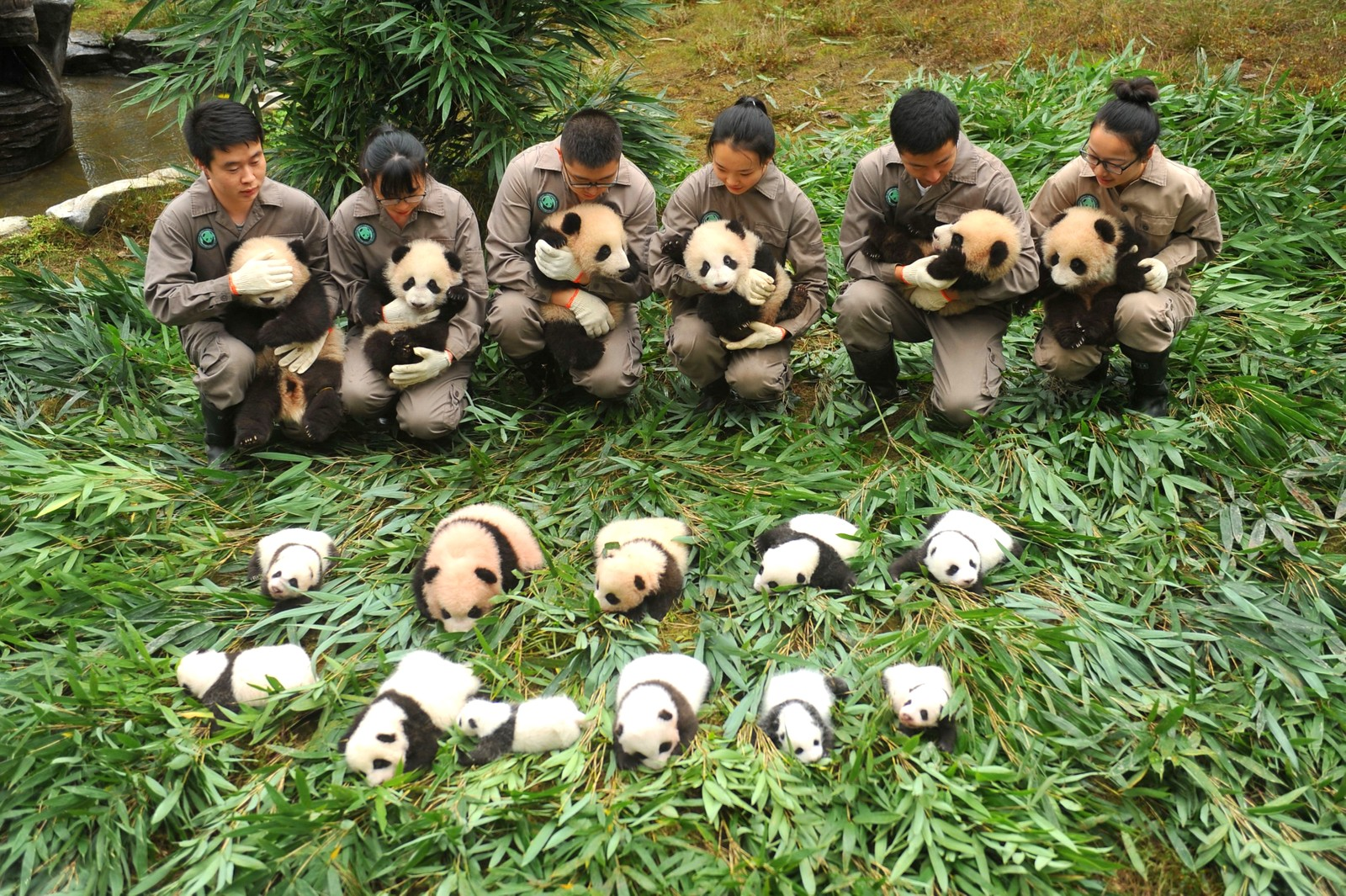"Små kjempepandaer vises fram ved ""China Conservation and Research Centre of the Giant Panda"" i Yaan i Kina."