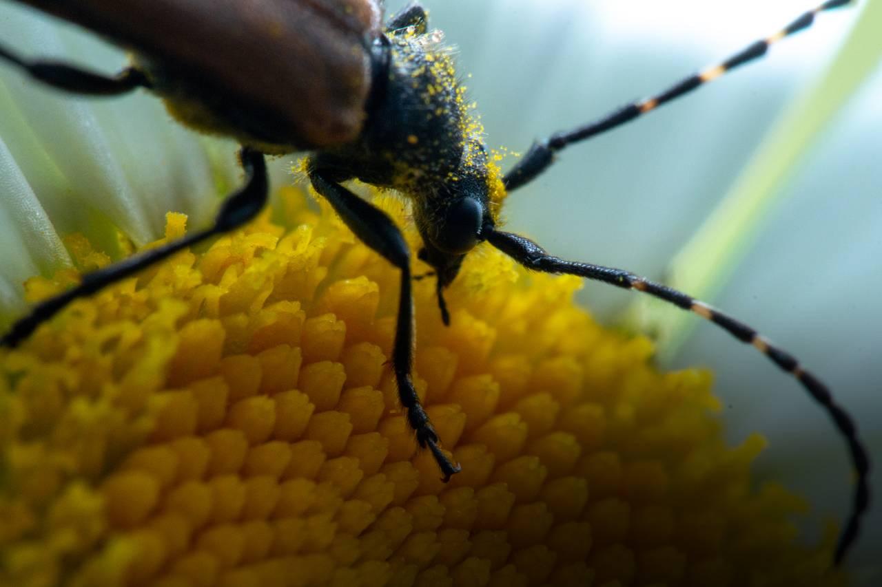 Nærbilde av blomsterbukken som beiter pollen på en prestekrage. Den er dekt av små pollenkorn, og har lange antenner.