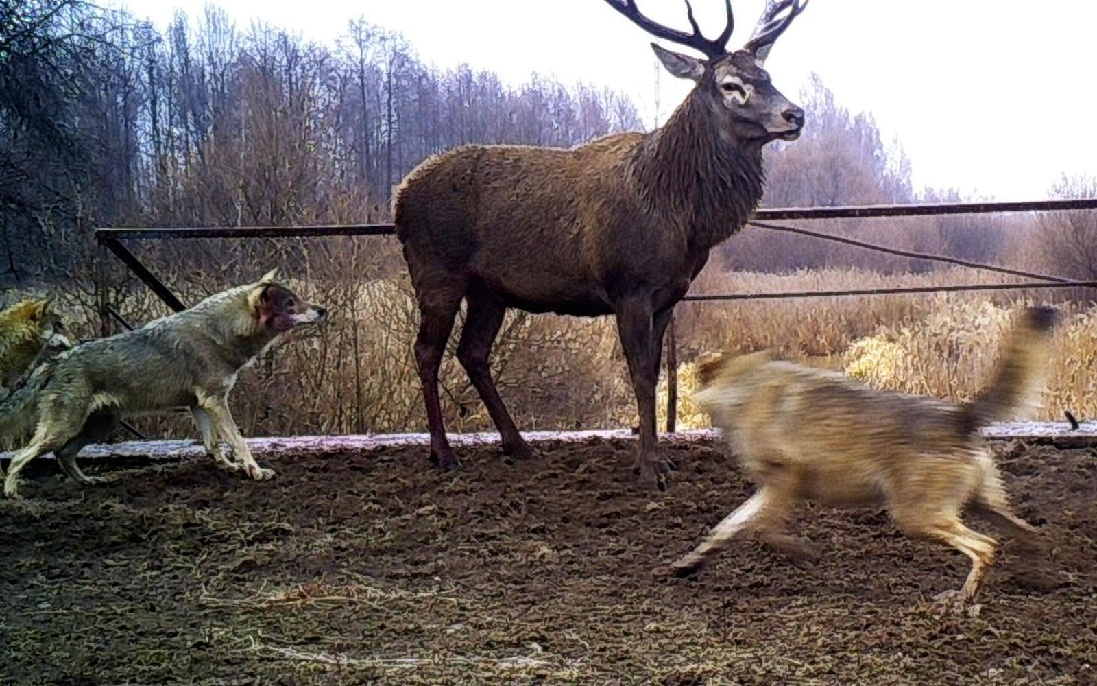 En hjort angripes av to ulver inne i vernesonen på dette bildet fra november 2014.