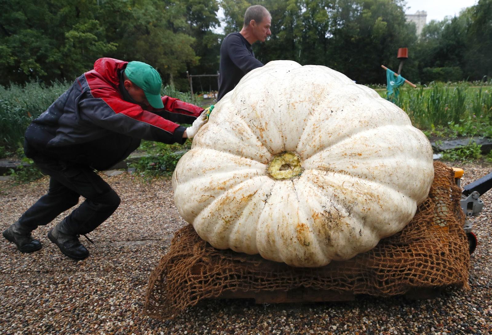 Et kjempestort kjempegresskar skal vises fram i den botaniske hagen i Moskva. Gresskaret veide over 430 kilo da bildet ble tatt.