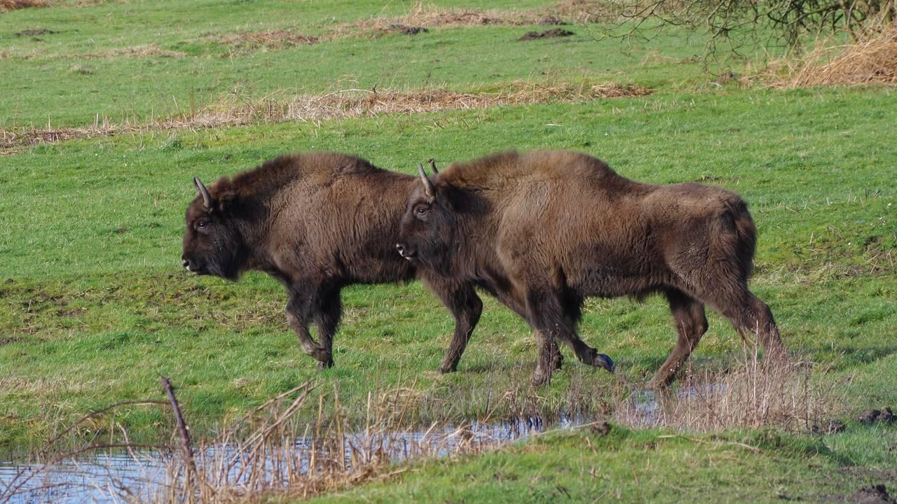 bison visent