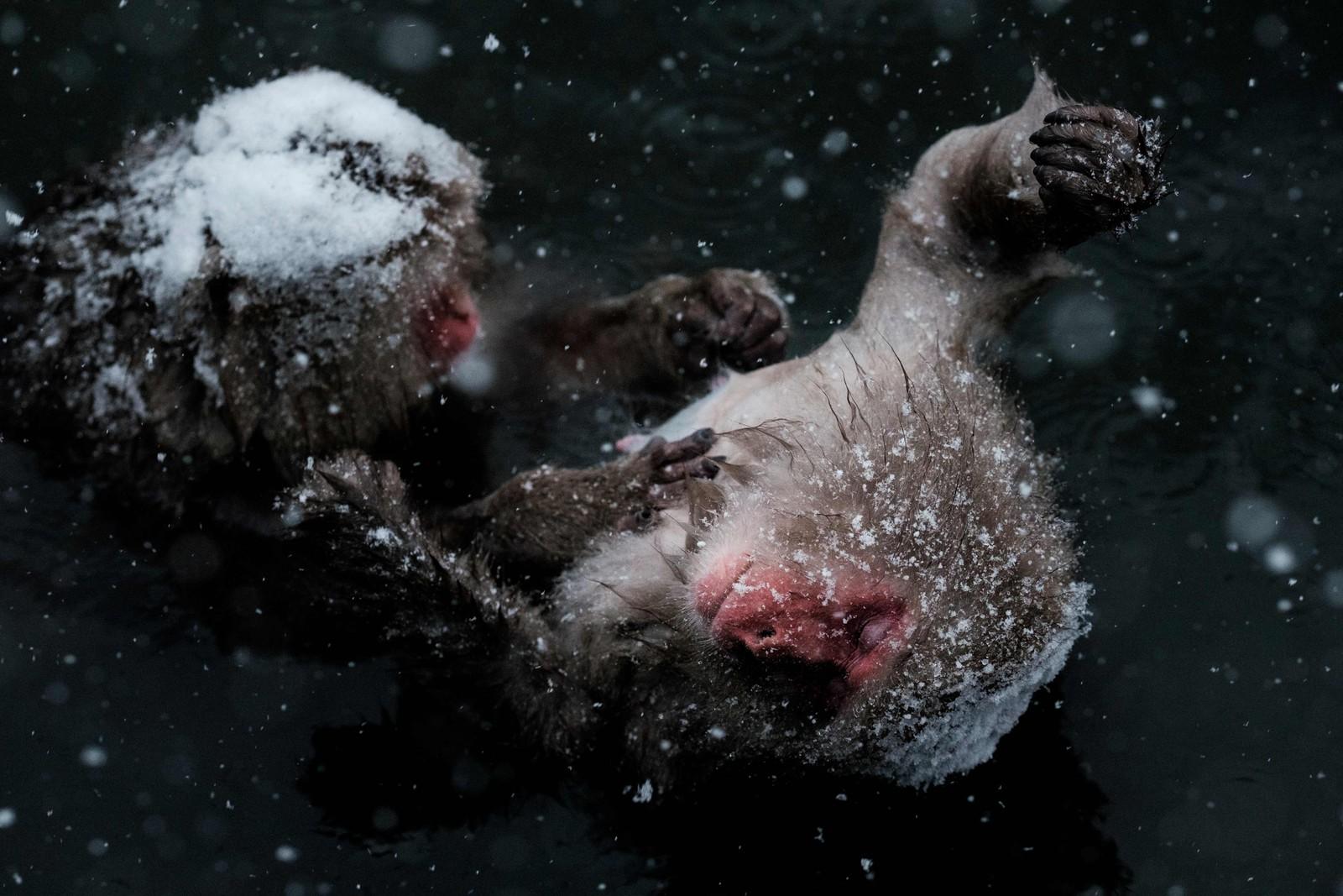 Ville japanske aper kjent som «snøaper» steller hverandre i en varmekilde i Jigokudani Wild Monkey Park in Yamanouchi, nær Nagano.