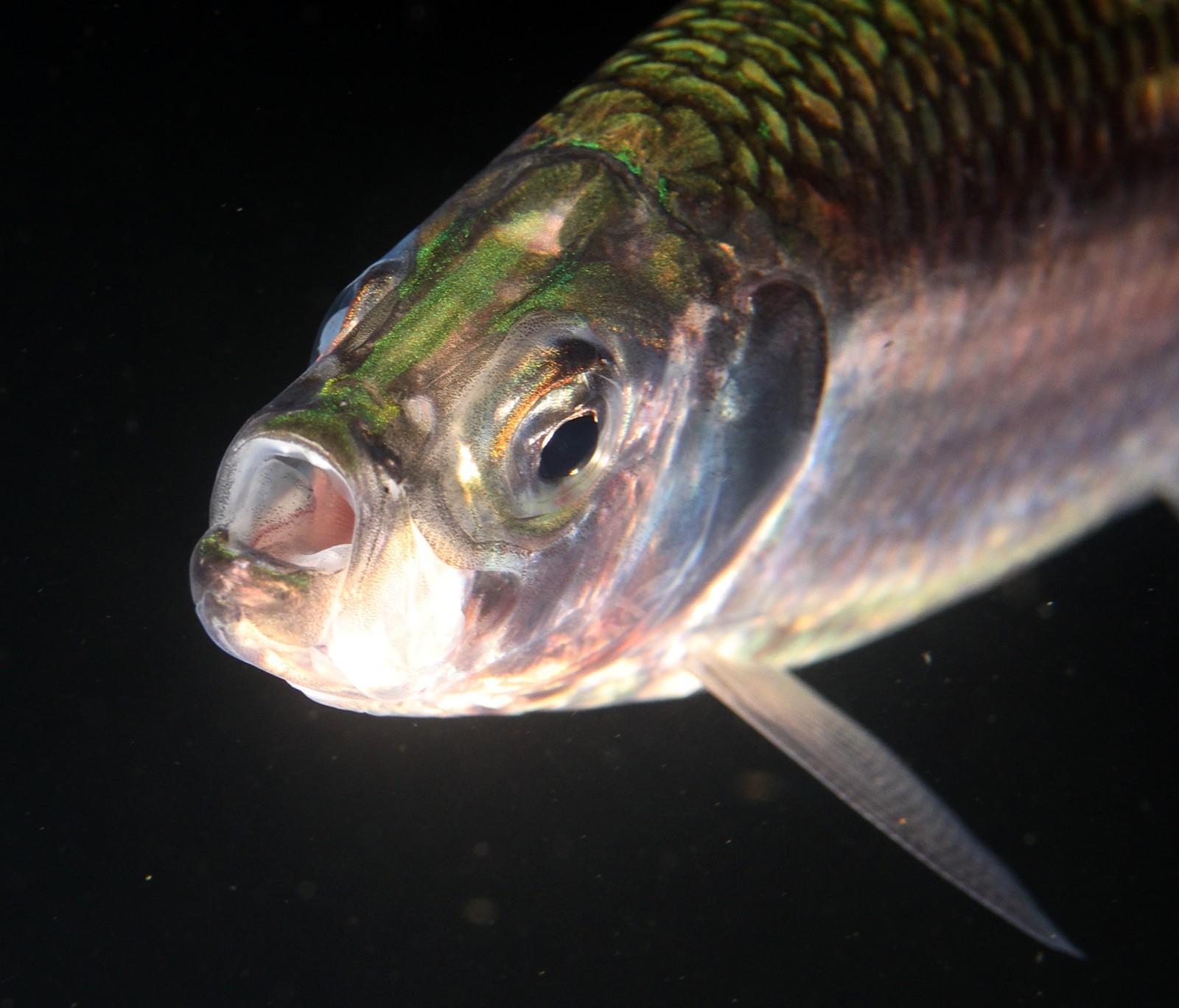 Sild (Clupea harengus) er en fisk i sildefamilien, og en art med potensial for fremtidig overføring via Nordøstpassasjen, ifølge forskningsprosjektet.