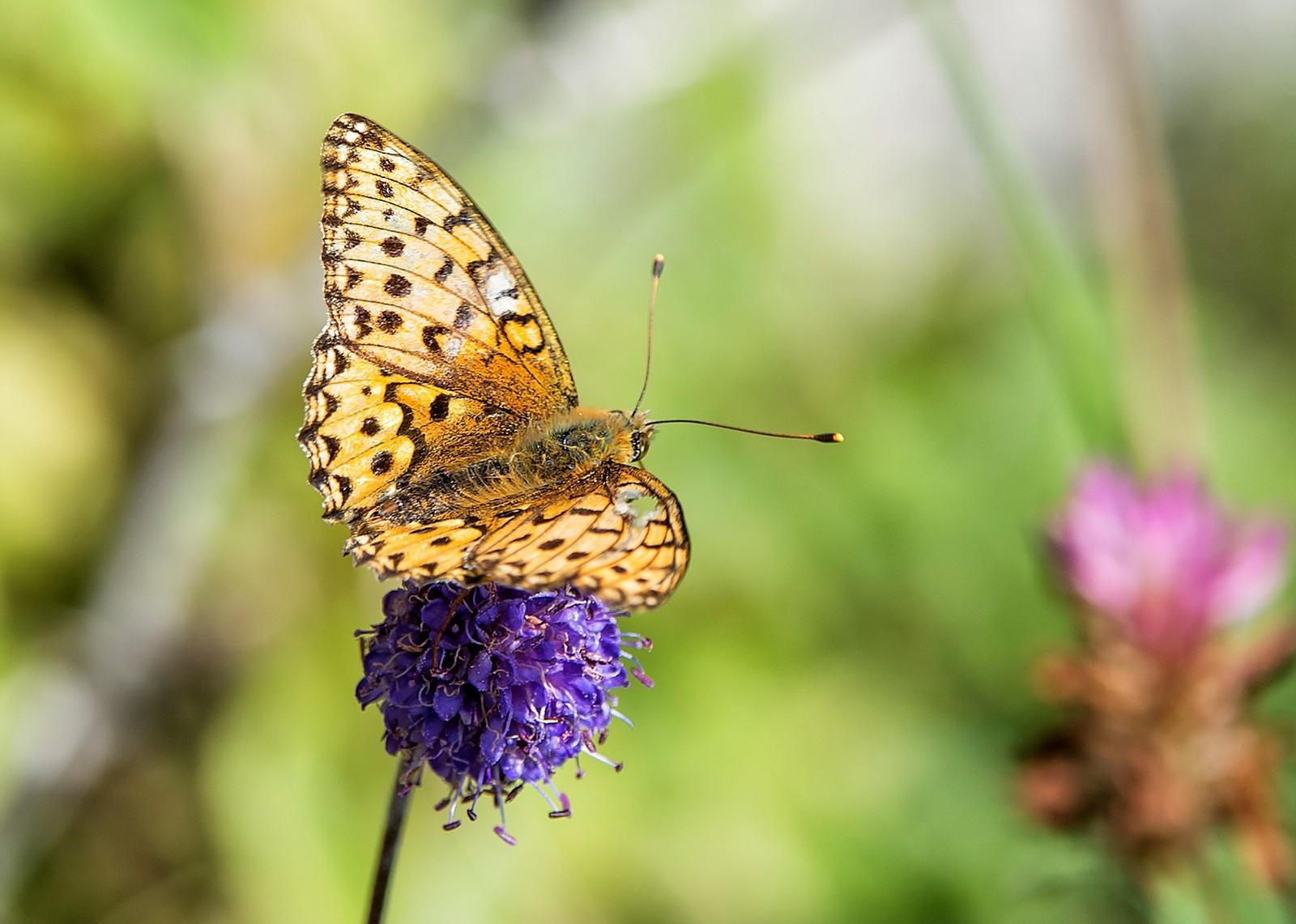 En sliten sommerfugl