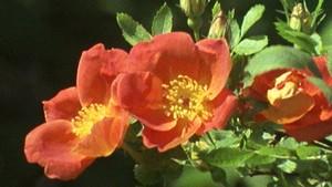 """""""En rose er en rose er en rose..."""""""