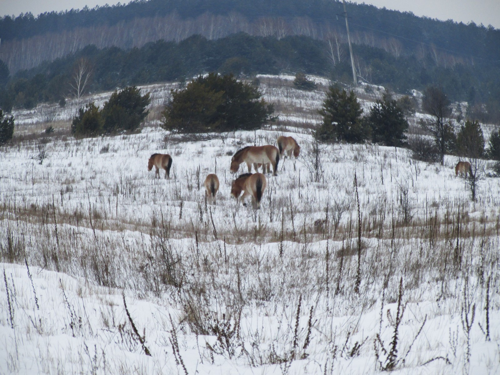 Przewalski-hestene lever i flokker inne i vernesonen rundt Tsjernobyl.