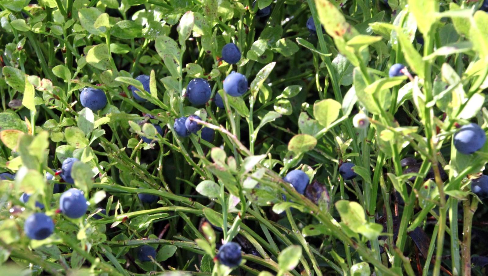 Store deilige blåbær