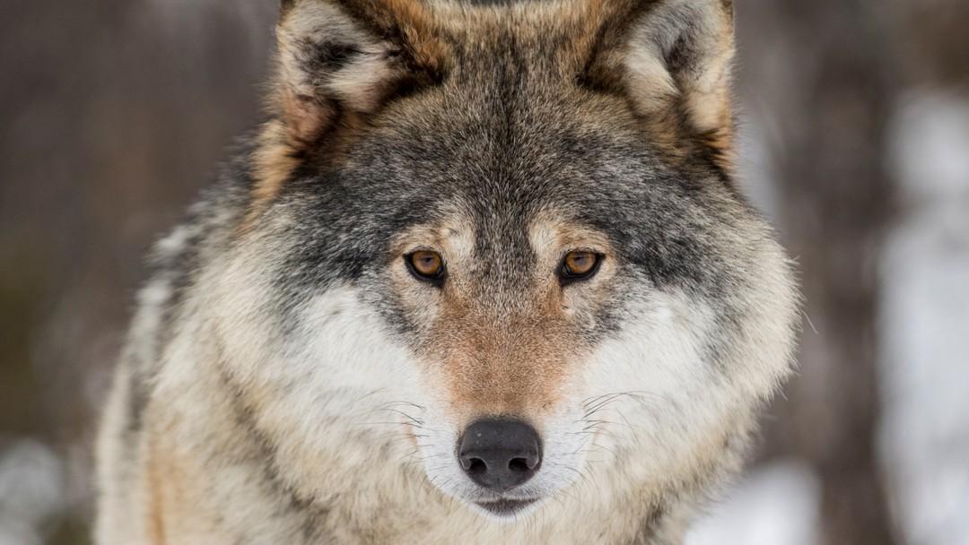 TUNHOVD 20170218.Ulv på Langedrag. Voksen hannulv. Latinsk navn: Canis LupusFoto: Heiko Junge / NTB scanpix