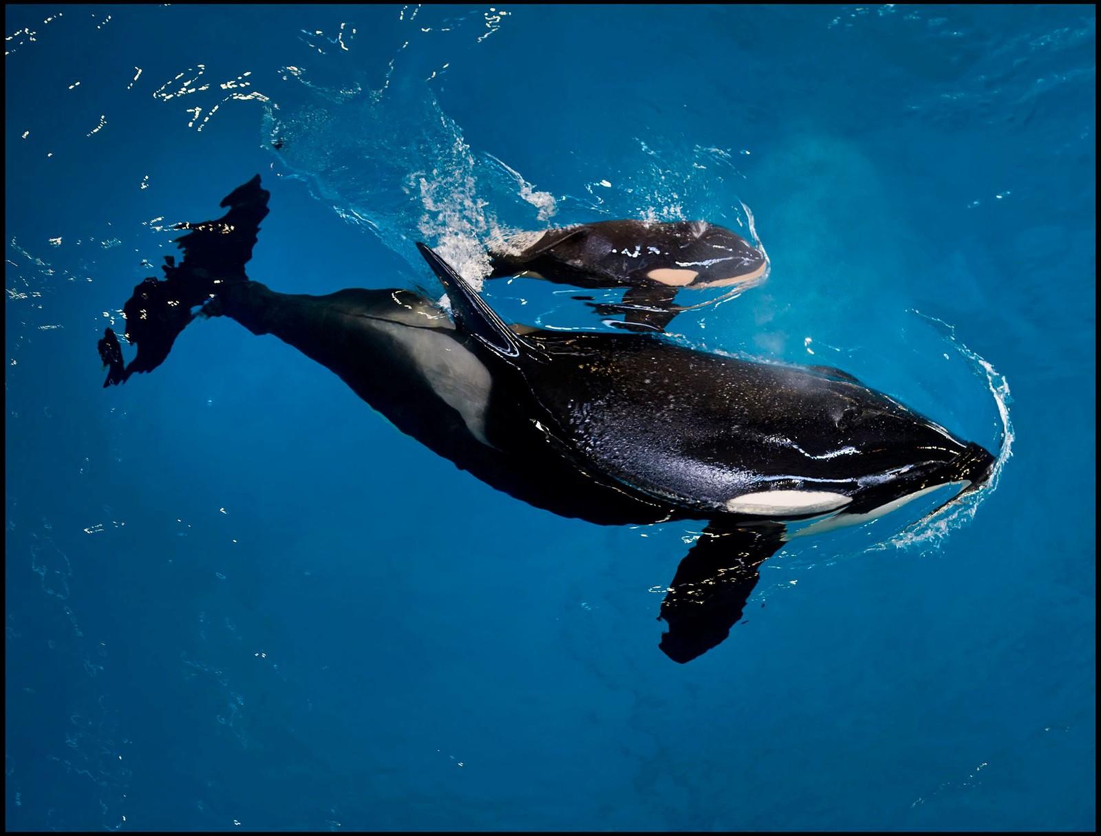 Spekkhoggeren Takara tok en runde i bassenget med den aller siste kalven som ble født i en Seaworld-park. Parken skal slutte med spekkhoggere i fangenskap.