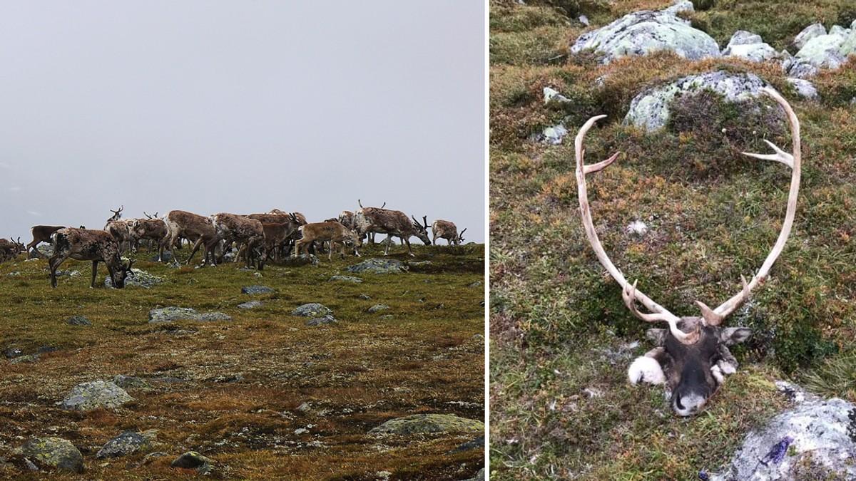 Miljødirektoratet vil felle «flest mogleg» villrein på Hardangervidda