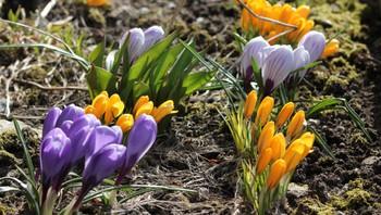 Det gror i blomsterbedet i Svolvær.
