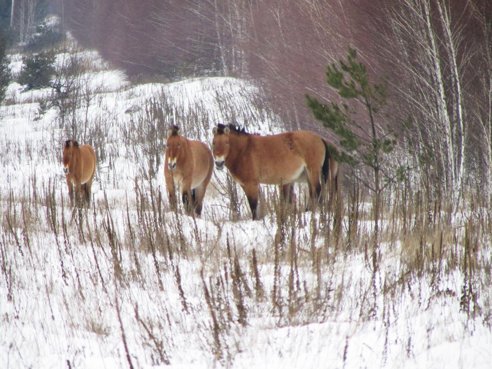Tre Przewalski-hester beiter inne i vernesonen rundt Tsjernobyl i januar i år.