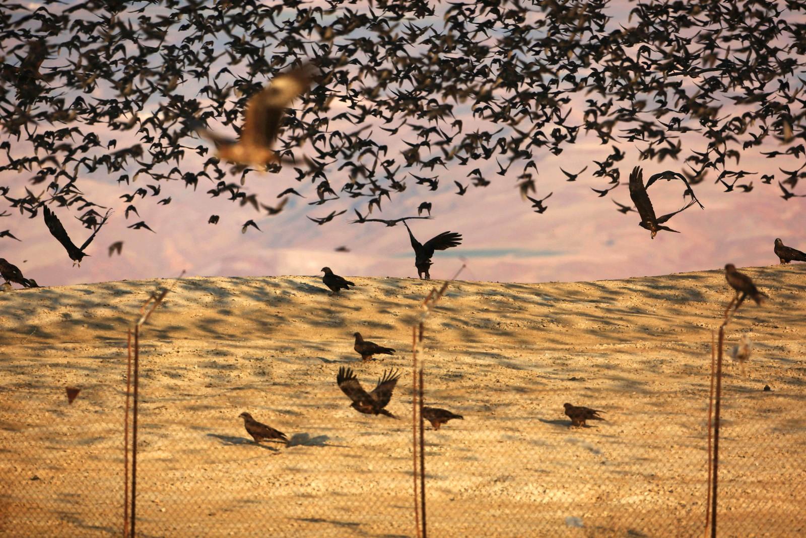Svartglenter og stærer flyr ved grensen mellom Jordan og Israel i Jordandalen.