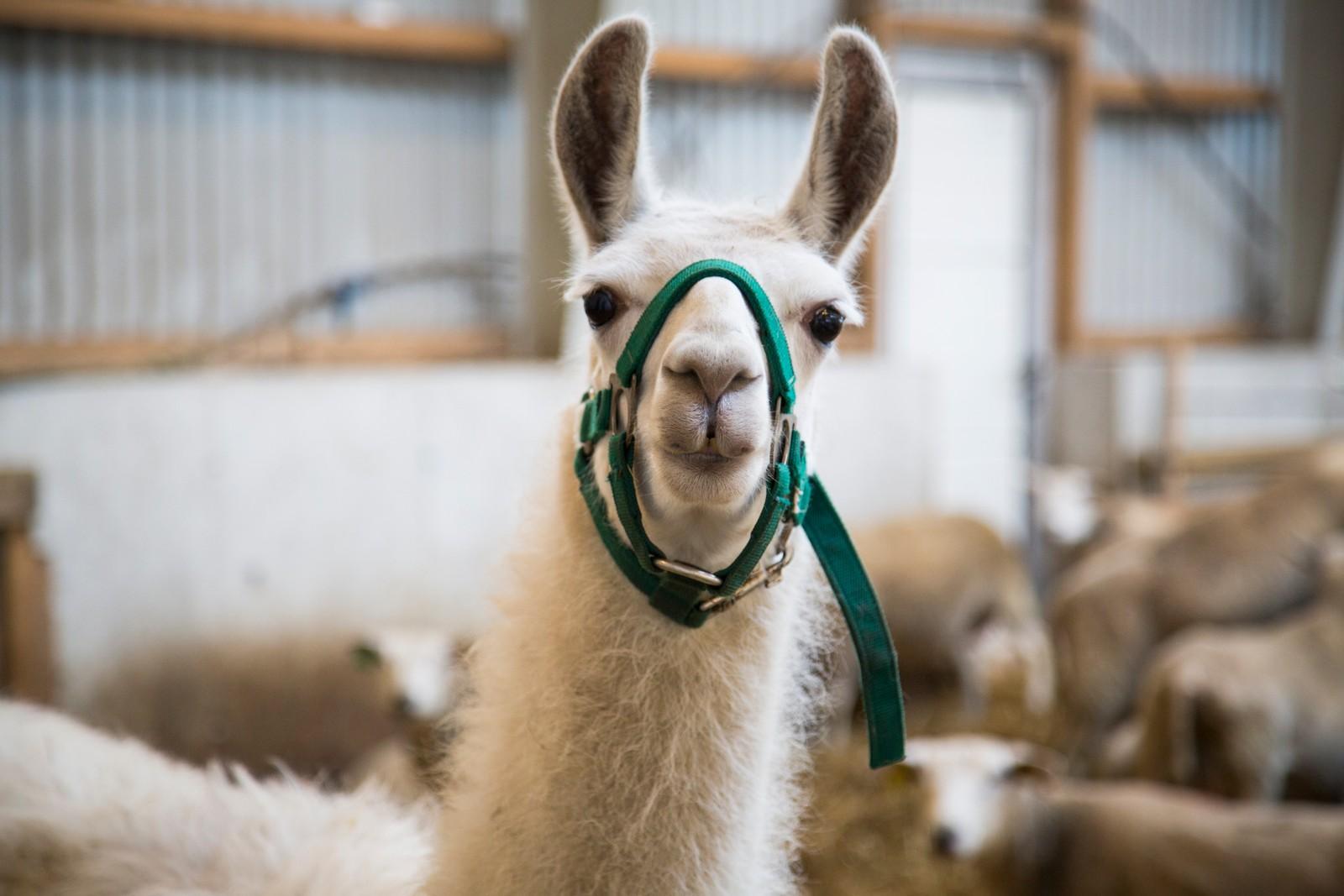 Lamaen Happy går saman med saueflokken, hans einaste funksjon er å spreia glede, seier bonde Kjell Ove Viste.