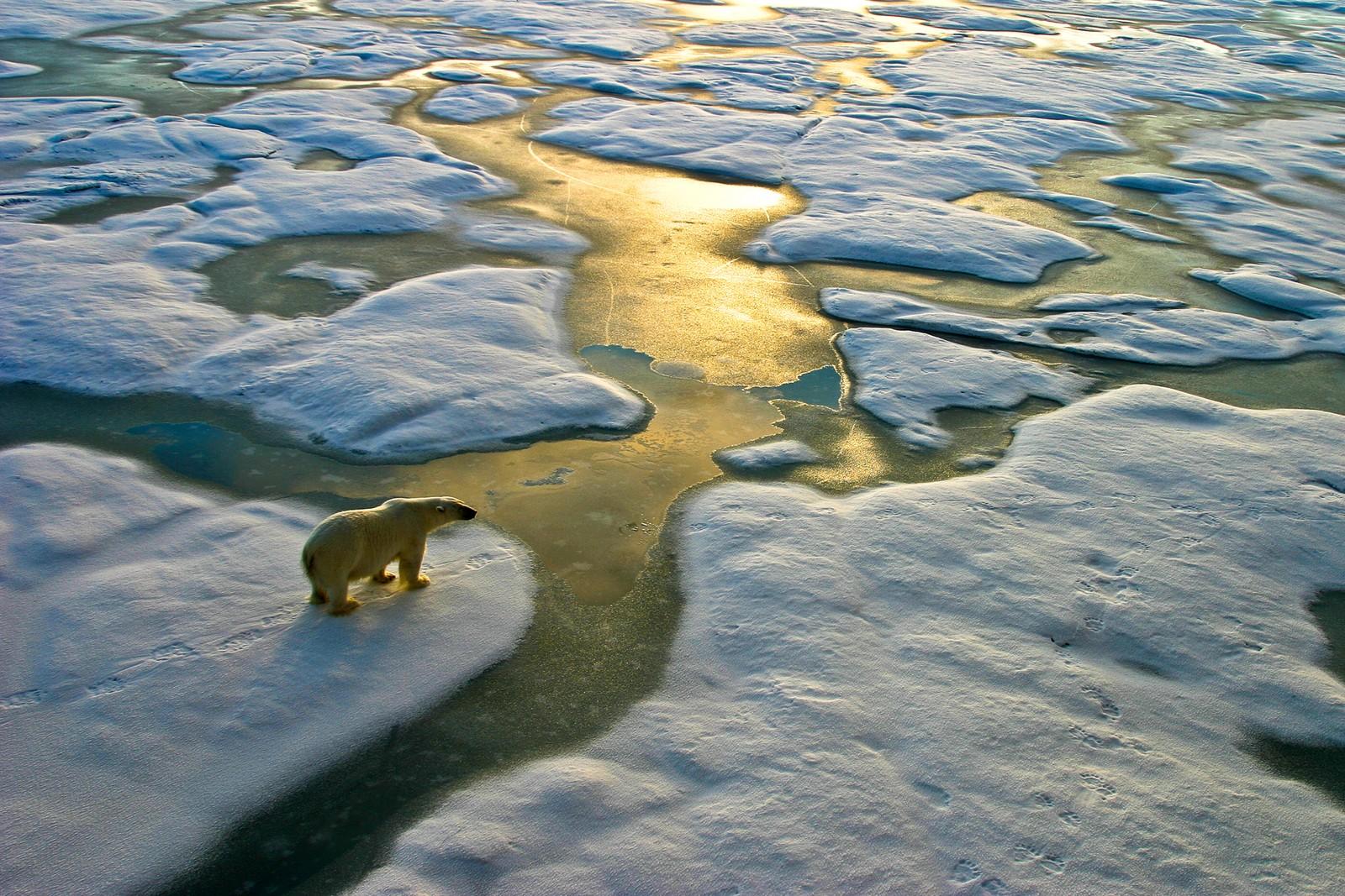 """AVHENGIG AV IS: Mange bjørner følger isen når den trekker seg nordover om sommeren. Andre velger å """"oversomre"""" på land. Her fra Frans Josef Land."""