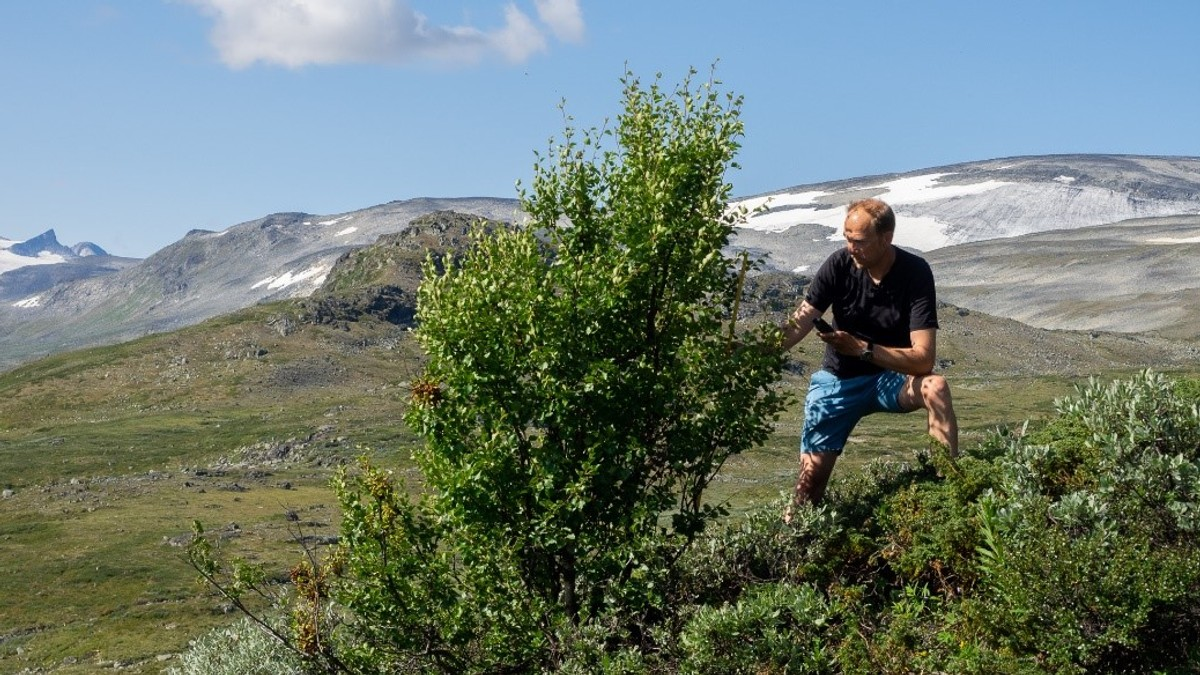 Norgesmester til besvær - fjellbjørk i Jotunheimen