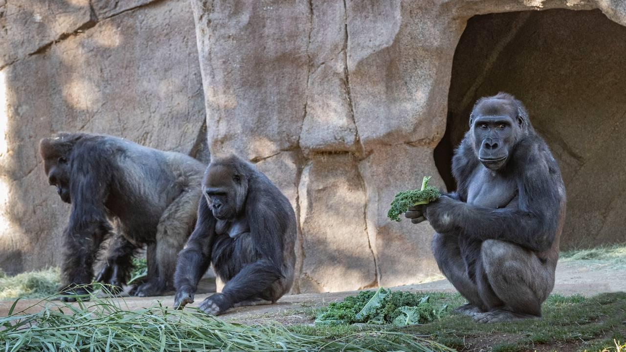 Koronasmittet gorilla i San Diego