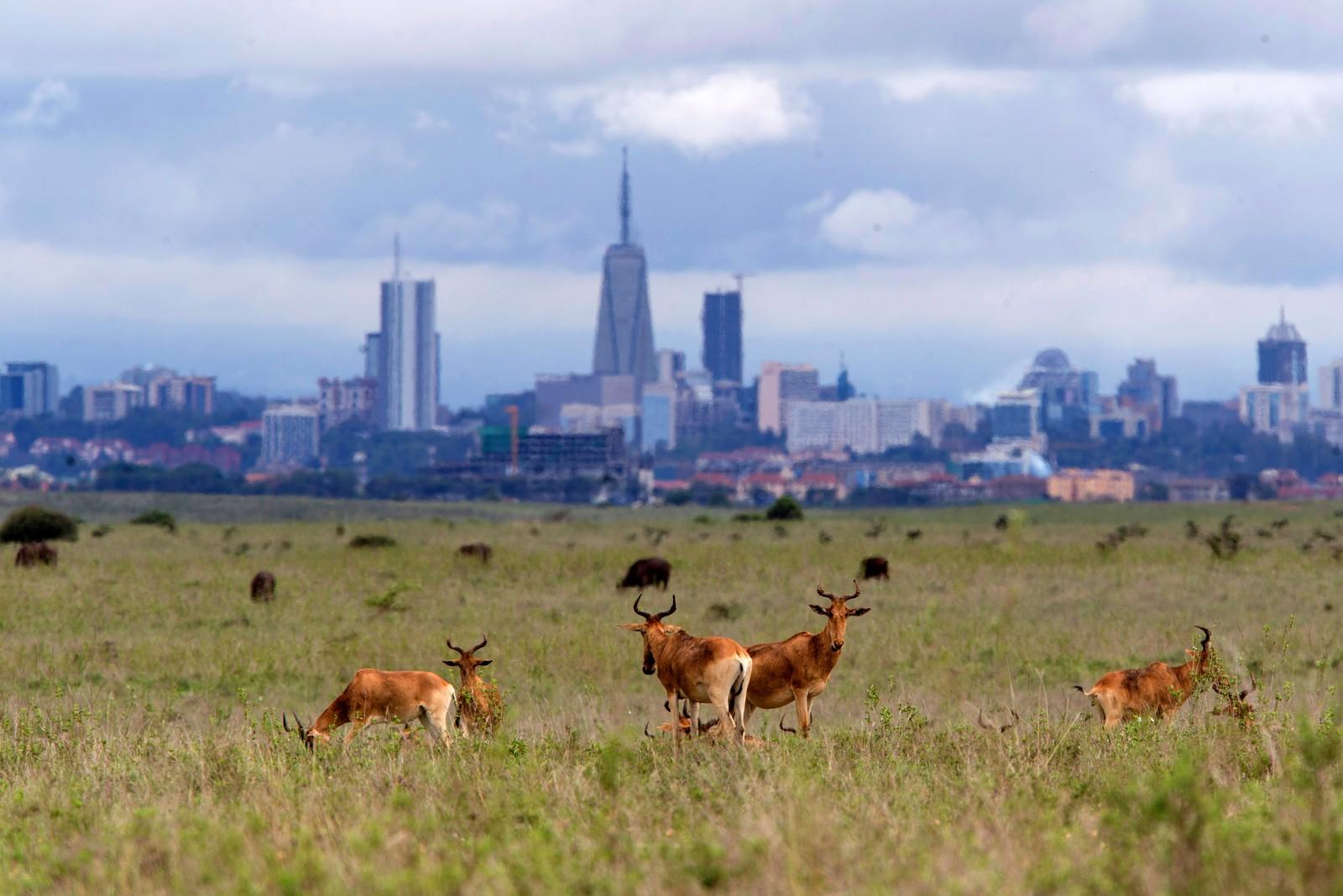 Kuantiloper gresser ved Nairobi i Kenya.