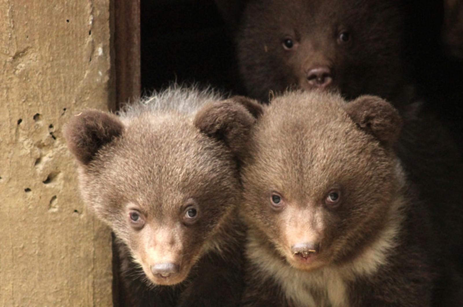Tre små bjørner tittet denne uka ut og ble fotografert for første gang i dyrehagen Aran Park i Spania.