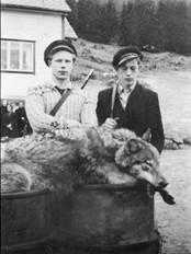 Dagfinn Berg og Henrik Berg med den store ulven dei skaut i 1950. Fotograf Reiakvam vart kalla inn for å ta dette biletet, og sakkunnige i Bergen kunne dermed stadfeste at det var ein ulv karane hadde skote.