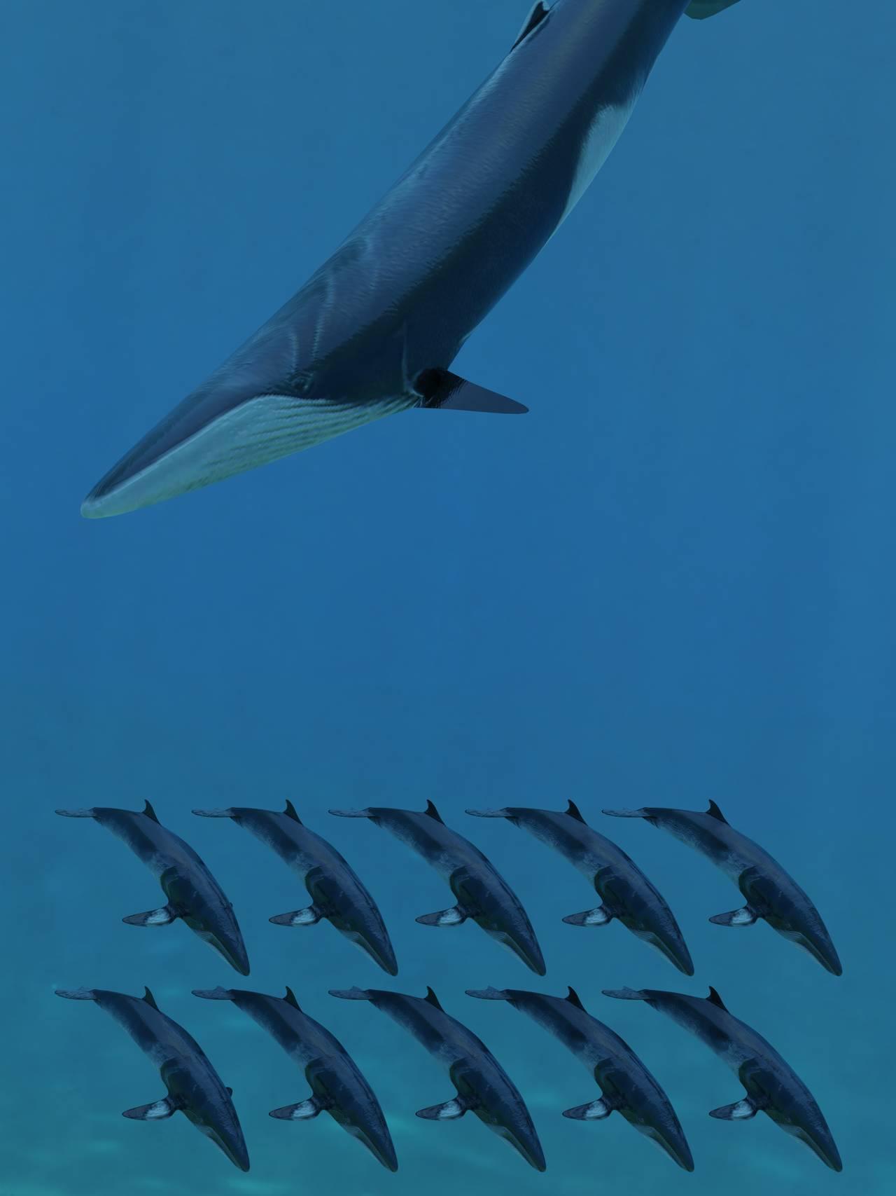 Finnhval og Vågehval