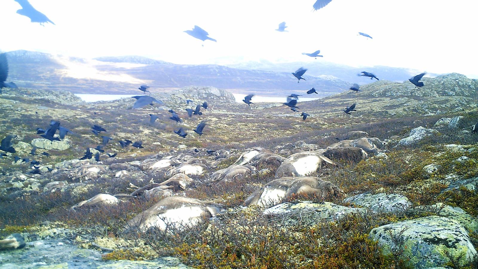 Ravn over villrein-kadaver på Hardangervidda. Bildet er tatt 23. september 2016.