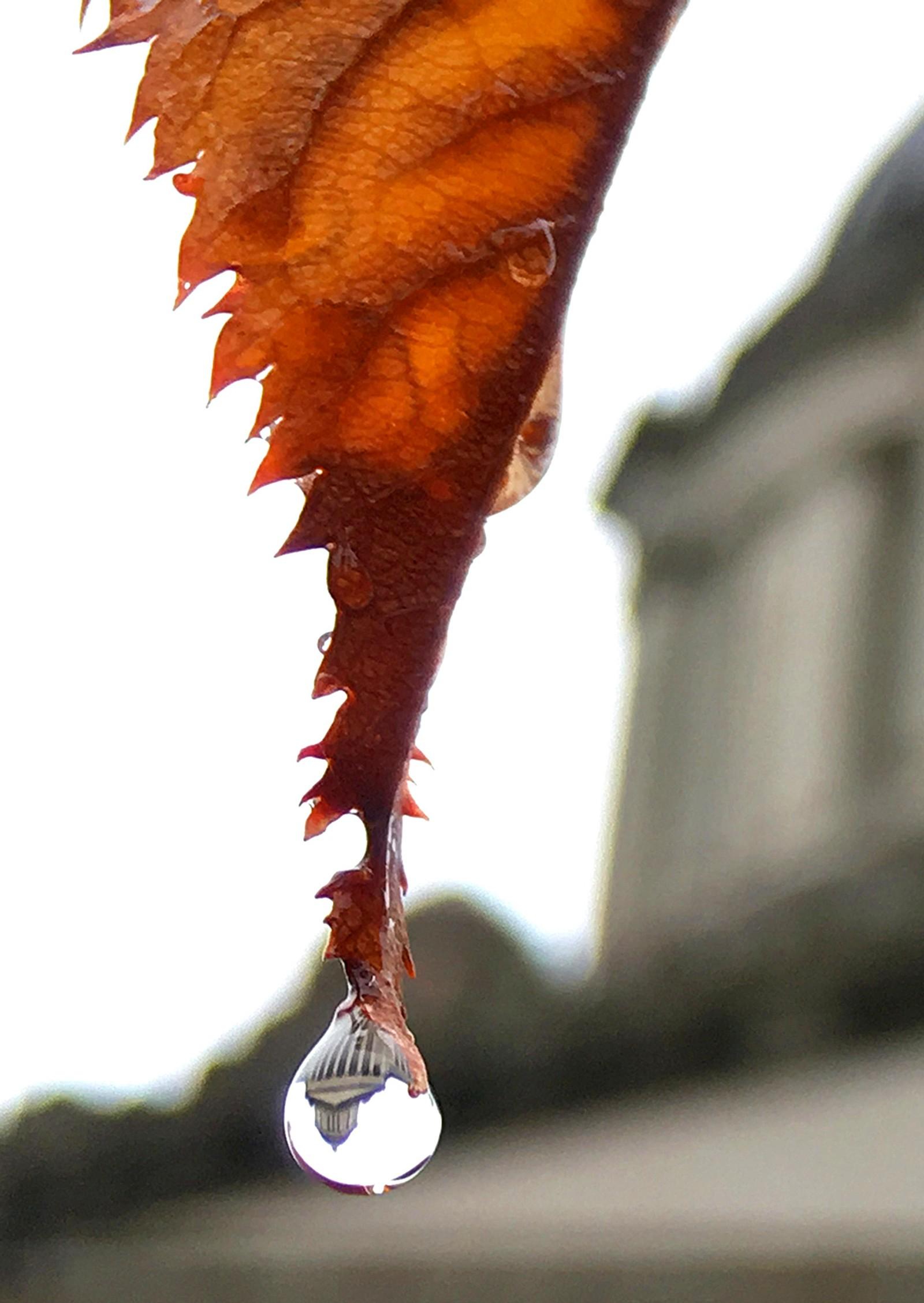 Et høstblad feller en tåre ved Washington State Capitol i USA.