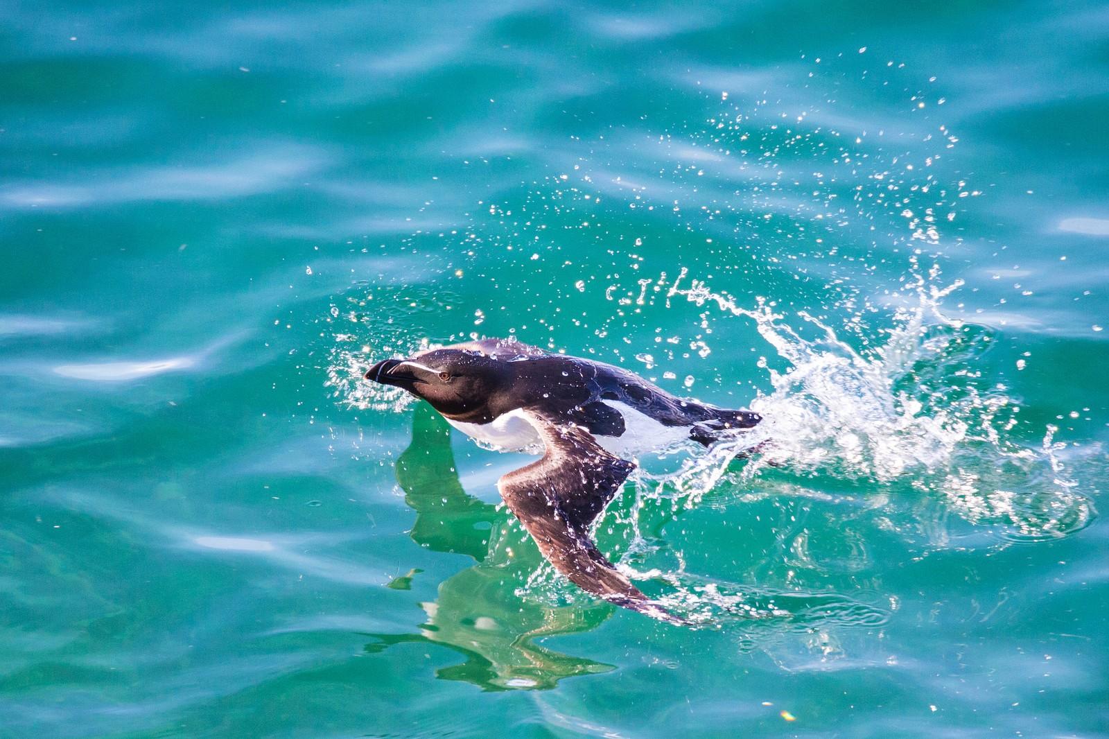 Alken er en dyktig svømmer. Denne dagen var det «sydenvær» på Hornøya.